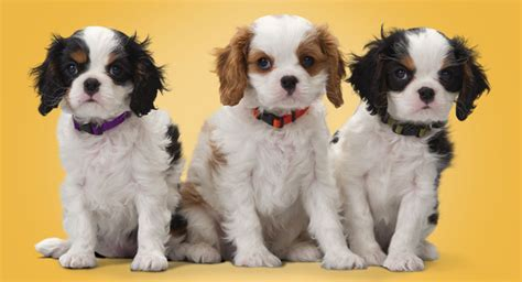 how much do puppy vaccinations cost how much do vaccines cost for puppies banfield pet hospital 174