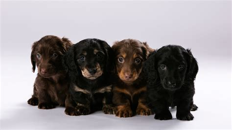haired mini dachshund puppies miniature dachshund haired breeds picture