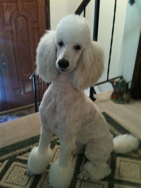 standard poodle grooming styles standard poodle hairstyles fade haircut