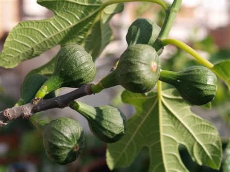 best time to plant fruit trees in michigan 100 ideas to try about fig tree figuiers sun turkey