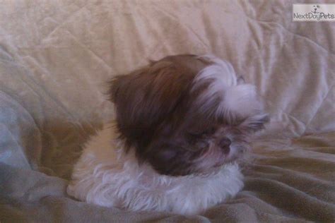 shih tzu puppies reno shih tzu puppy for sale near reno tahoe nevada a004743e 5601
