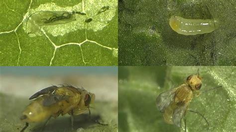 hama grandong lalat penggorok daun  bawang merah