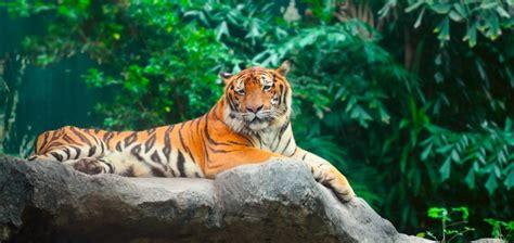 international tiger day  printable  calendar templates