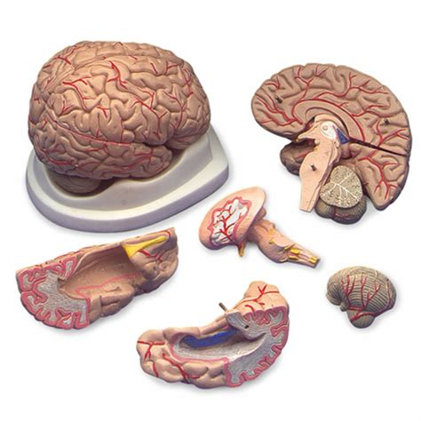 brain on budget brain model with arteries c20c brain blood supply