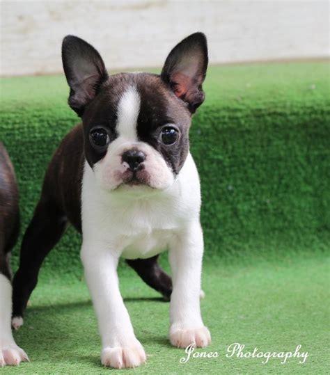 boston terrier puppies ta as 25 melhores ideias de baby boston terriers no boston terriers boston