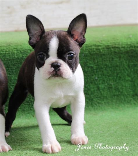 boston bull terrier puppies 25 best ideas about boston terrier puppies on baby boston terriers