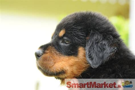 rottweiler sale sri lanka rottweiler dogs in sri lanka for sale in colombo smartmarket lk
