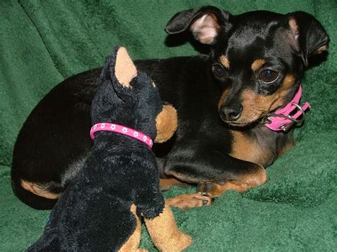 min pin images miniature pinscher images my min pin mix hd wallpaper and