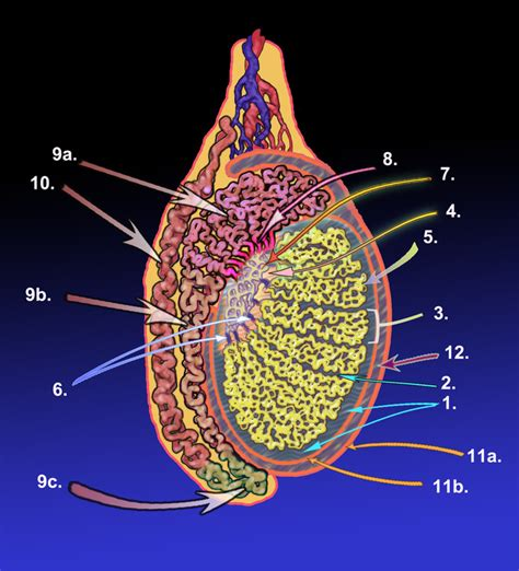 testicular diagram the reproductive system boundless anatomy and