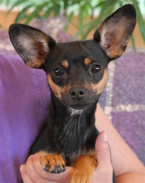 min pin yorkie mix yorkie miniature pinscher mix to the dogs