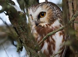 Sound Of A Barn Owl Northern Saw Whet Owl Identification All About Birds