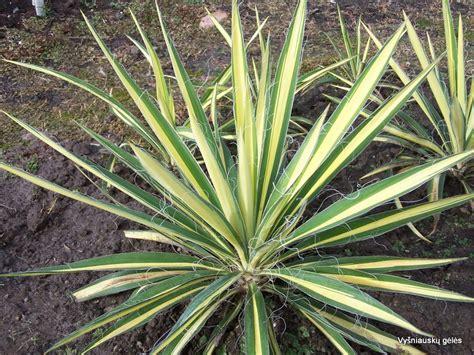 yucca color guard yucca filamentosa â color guardâ vyå niauskå gä lä s