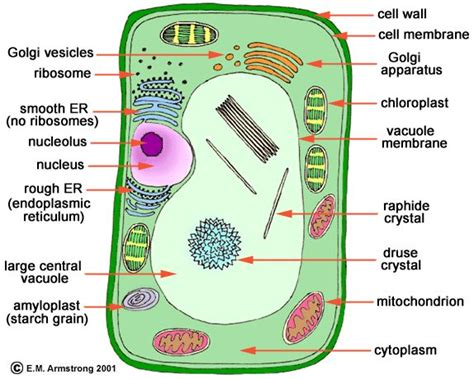 2d diagram of plant cell best 25 plant cell organelles ideas on plant