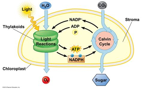light reaction diagram what function does nadph serve in photosynthesis quora
