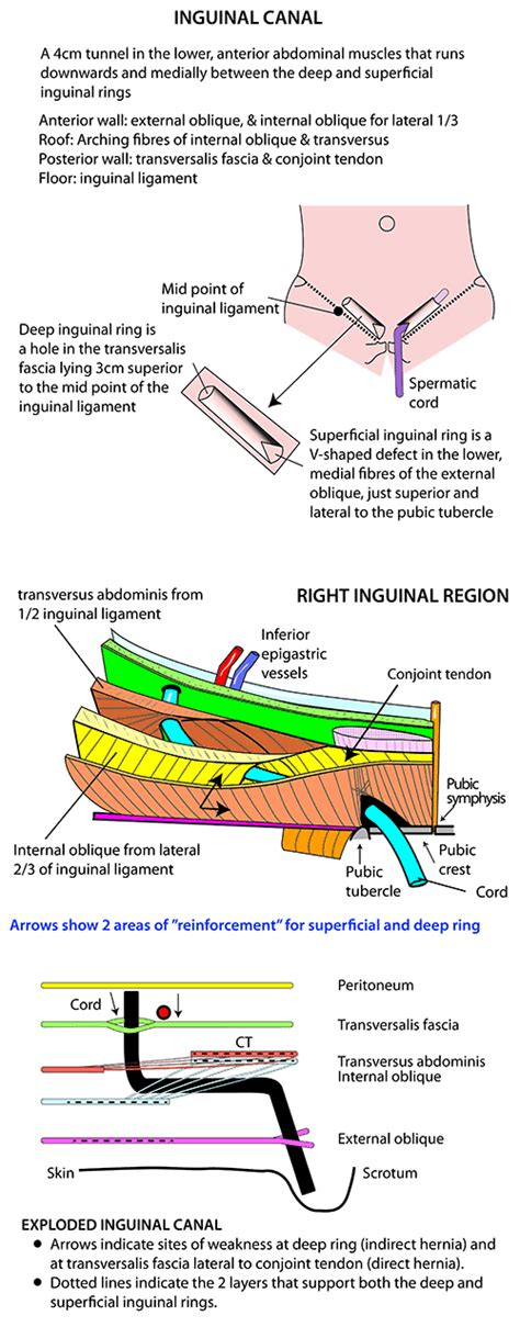 diagram of inguinal canal 1000 images about anatomy