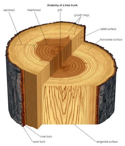tangential section stock illustration a transverse slice of tree trunk