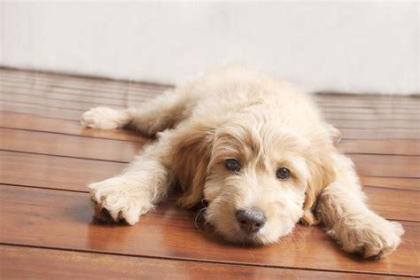 mini goldendoodles washington dc mini goldendoodle i dogs f1b