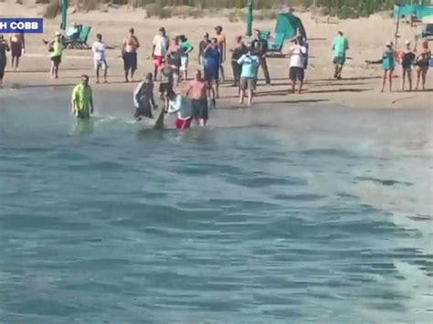 shark dragged to death behind boat hammerhead shark dragged to shore by beachgoers may die