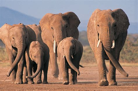 Elephants Wallpapers   Fun Animals Wiki, Videos, Pictures