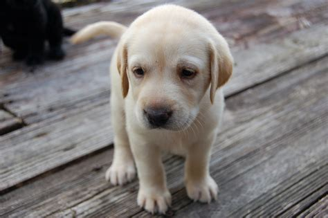 yellow labrador puppies for sale pin yellow lab puppies for sale on