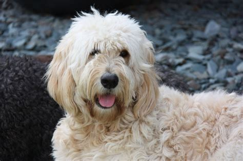 f2 goldendoodle puppies for sale stunning f2 goldendoodle puppies all sold