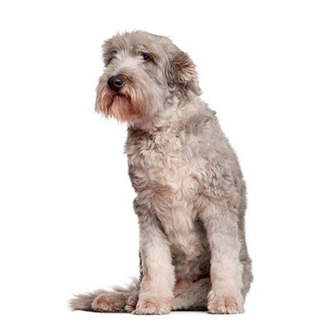 100 pics breeds 100 pics breeds 11 level answer west highland
