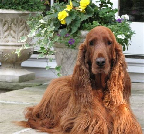 irish setter definition 17 best images about irish setter on pinterest english