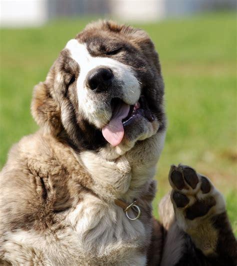 puppy in russian russian breeds russian dogs russian