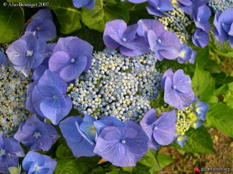 Tanaman Bunga Hortensia Blue Sky Hydrangea Macrophylla Blue Sky Hortensia Hydrangea