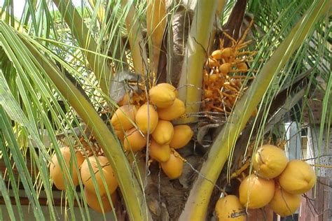 buat kartu nama kelapa gading jamu godog kendhil kencana tanaman penyegar udara 3