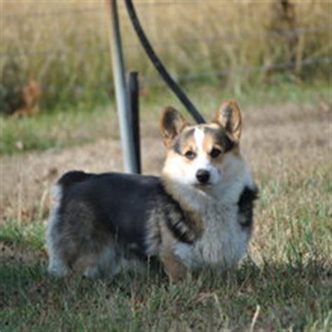 cheap corgi puppies for sale trained corgis for sale breeds picture