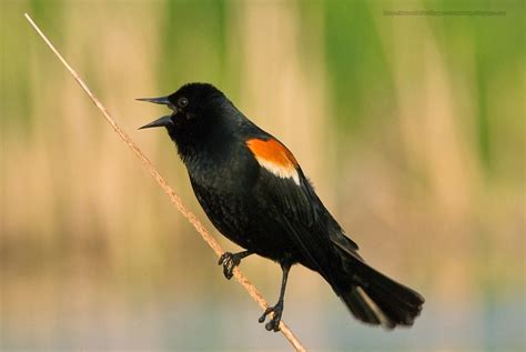 beautiful wallpapers for desktop red winged blackbird