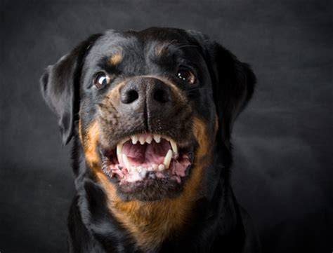 are rottweilers aggressive south carolina factors associated with severe bite attack