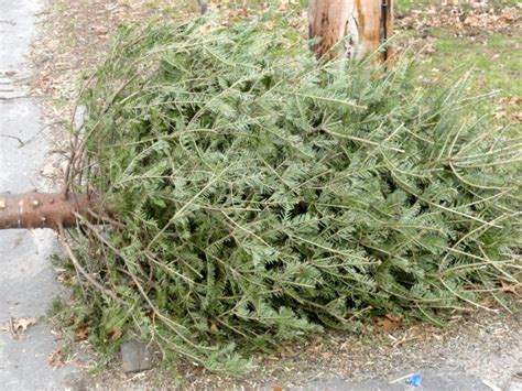 waste management to pick up discarded christmas trees in