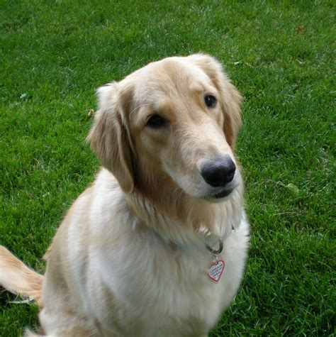 golden retriever adoption il as as gold golden retriever rescue of illinoismedalla as as gold