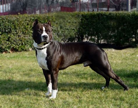 Breeders of American Staffordshire Terrier in Spain | Pets