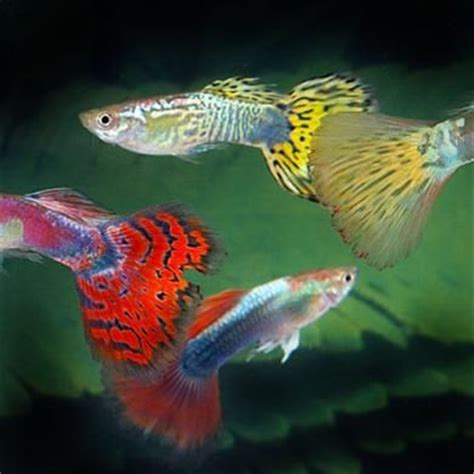 guppies colors 17 best images about aquariums guppies galore on
