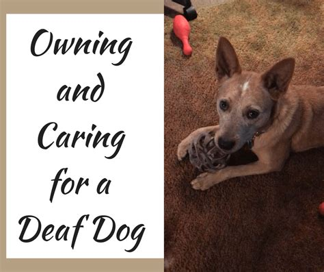 how to a deaf puppy owning a deaf how to a deaf will need to establish signals and