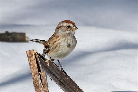 the daily bird new england tree sparrow