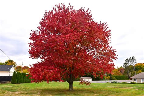 red maple acer rubrum  richmond fairfax loudoun prince