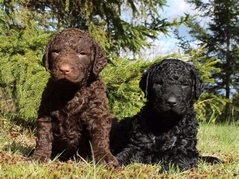 SoftMaple Curly Coated Retrievers - Puppies For Sale