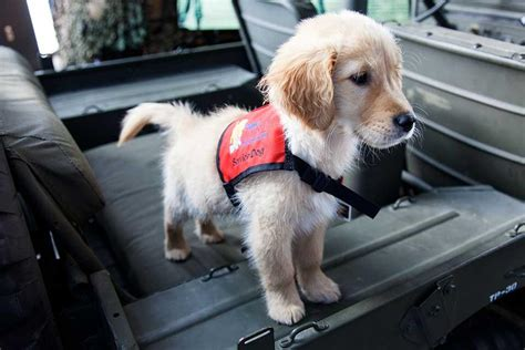 how to get involved with service dogs raise a puppy a service puppy jake foundation