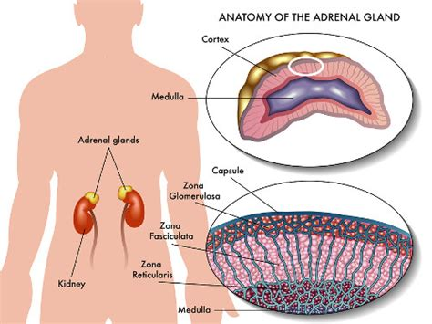 adrenal gland diagram adrenal function what do your adrenal glands do