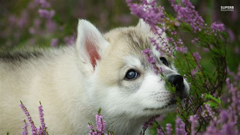 puppy to akita puppy dogs wallpaper 38672535 fanpop