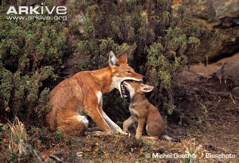 wolf food the wolf bale mountains on 27 pins