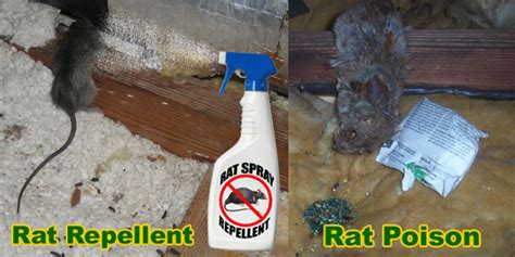 how to get rid of rats in house how to get rid of rats in house building attic without poison