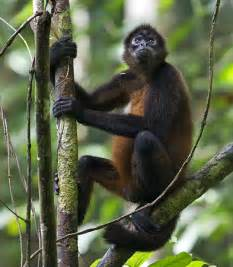 amazon black friday pets endangered animals spider monkey