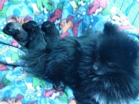 pomeranian for sale in portland oregon puppies for sale pomeranian pomeranians poms f category in portland oregon