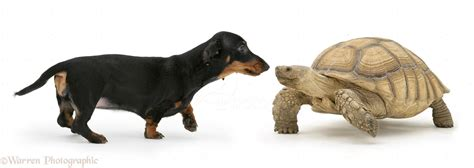 Dachshund and tortoise photo - WP27137