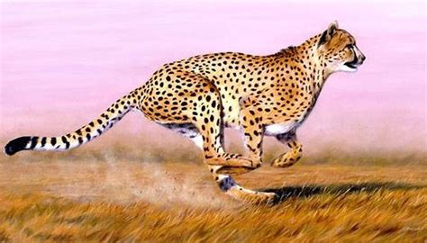how fast is a how fast does a cheetah run sciencing